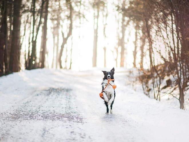 Собака бегает с игрушкой