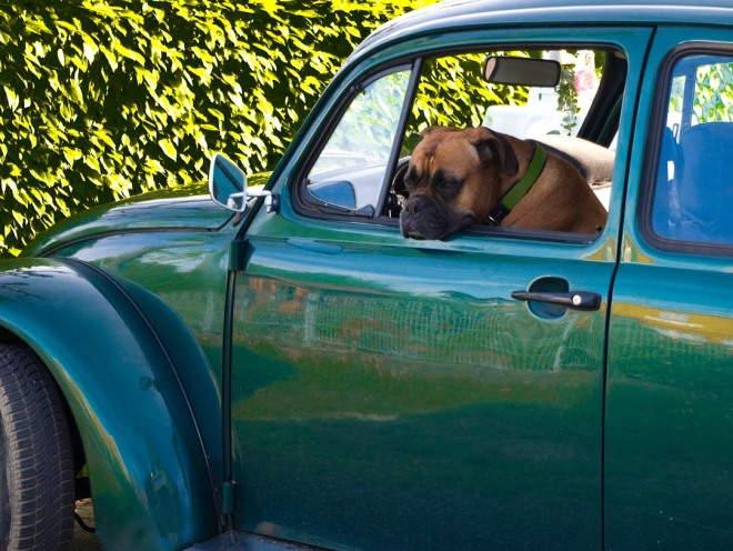 Собака сидит в машине грустная