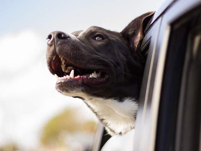 Собака вытащила голову из окна машины