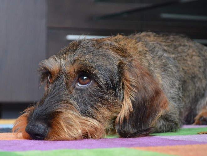 Собака лежит дома грустная