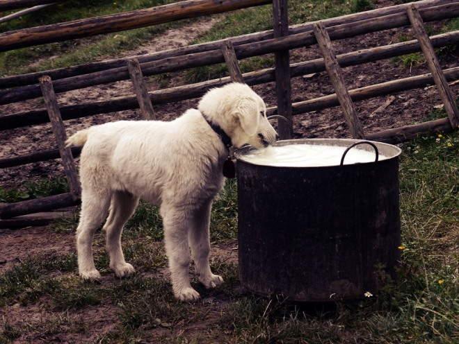 Щенок пьет молоко