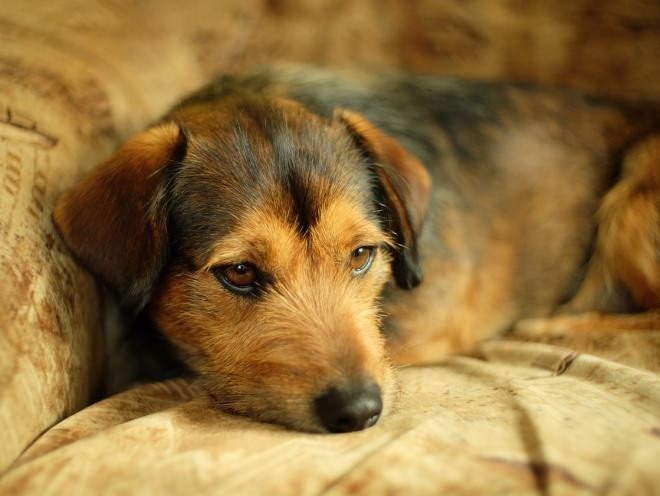 Собака лежит грустная на диване