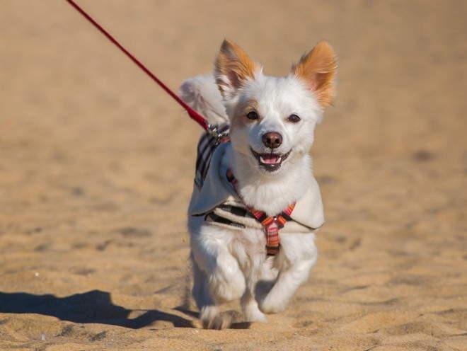 Собака гуляет на поводке