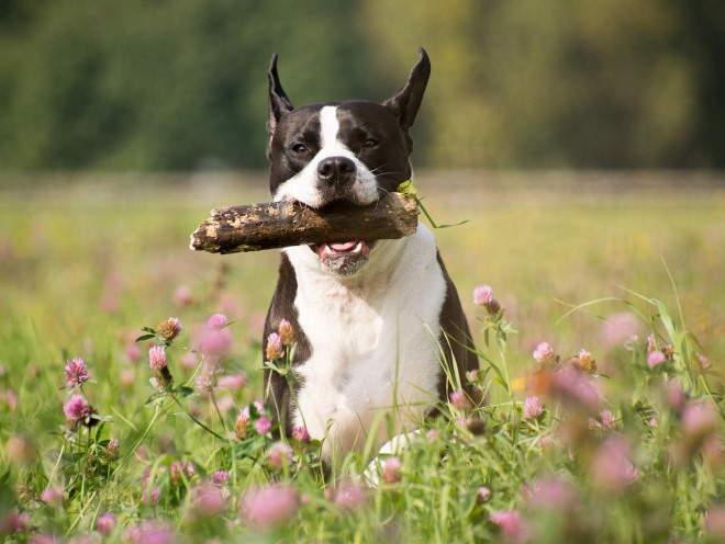 Собака играет с палкой
