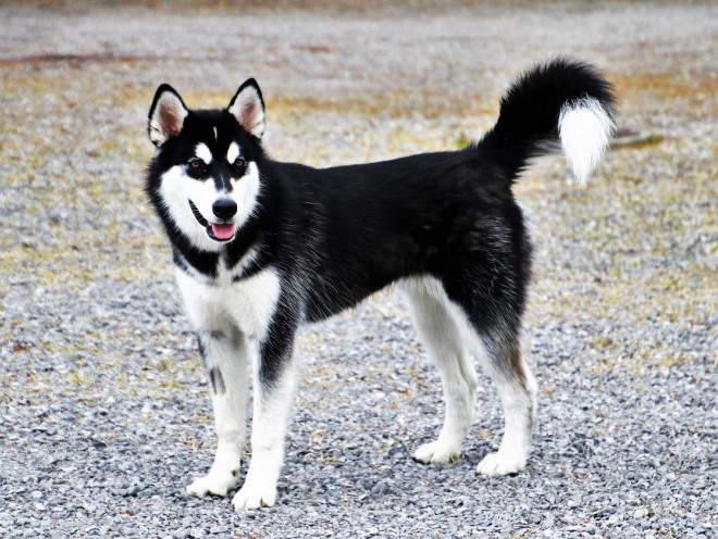 Собака с приподнятым хвостом
