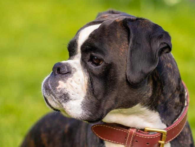 Собака-брахицефал