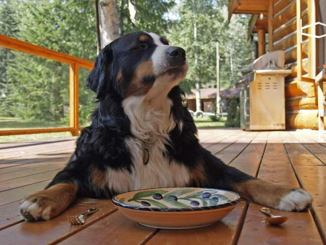 Собака лежит и ждет еду