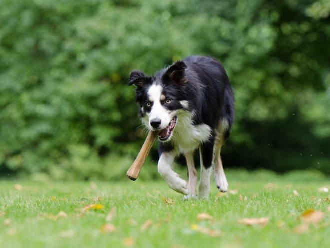Собака бегает с косточкой