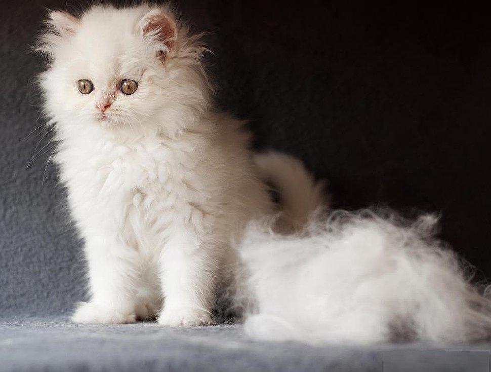 Почему у кошки лезет шерсть и что при этом делать