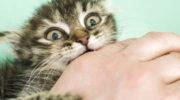Как можно отучить котенка кусаться и царапаться