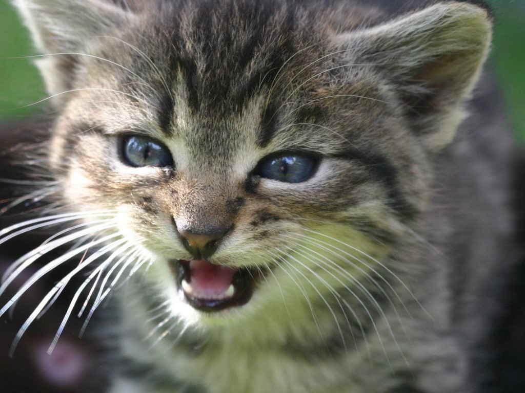 Котенок мяукает