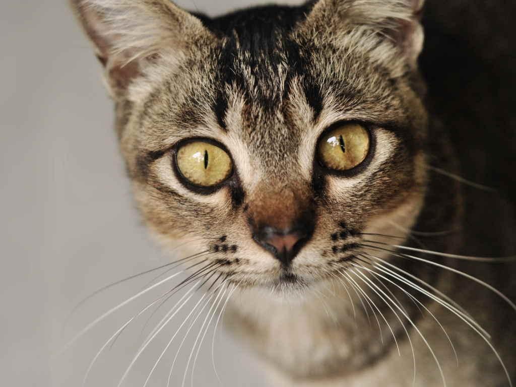 у кошки артроз