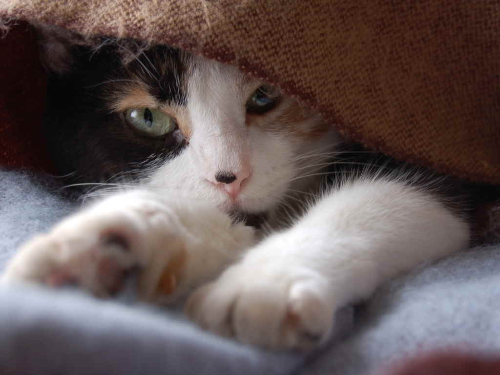Кошка под пледом