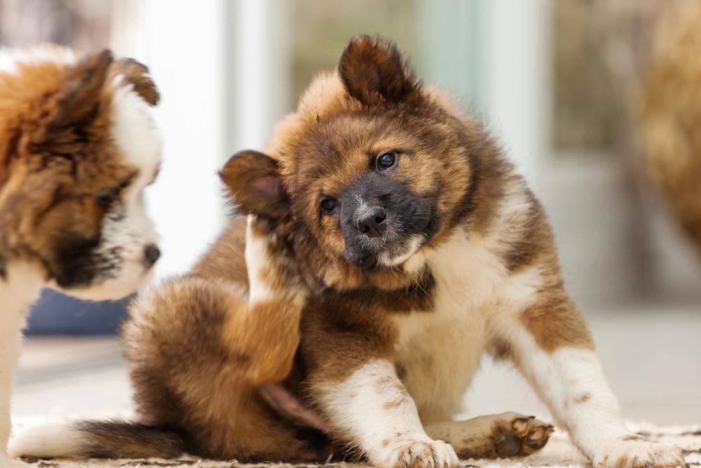 Как диагностировать и лечить дерматит у собак