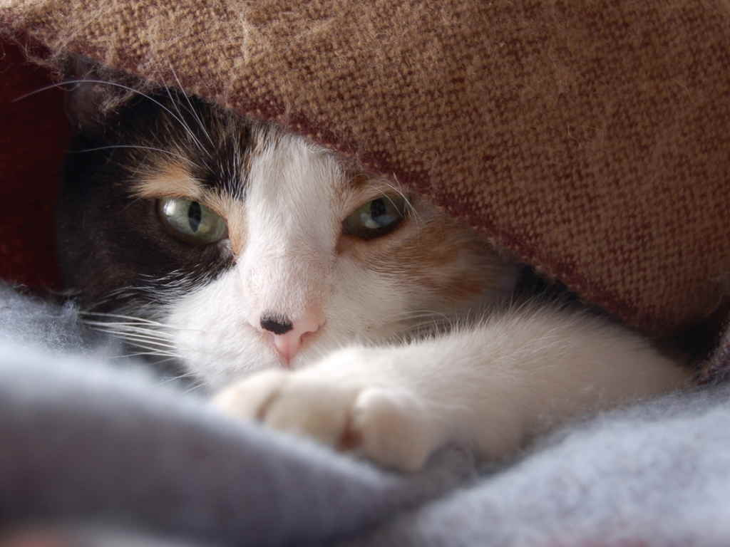 Кошка под одеялом