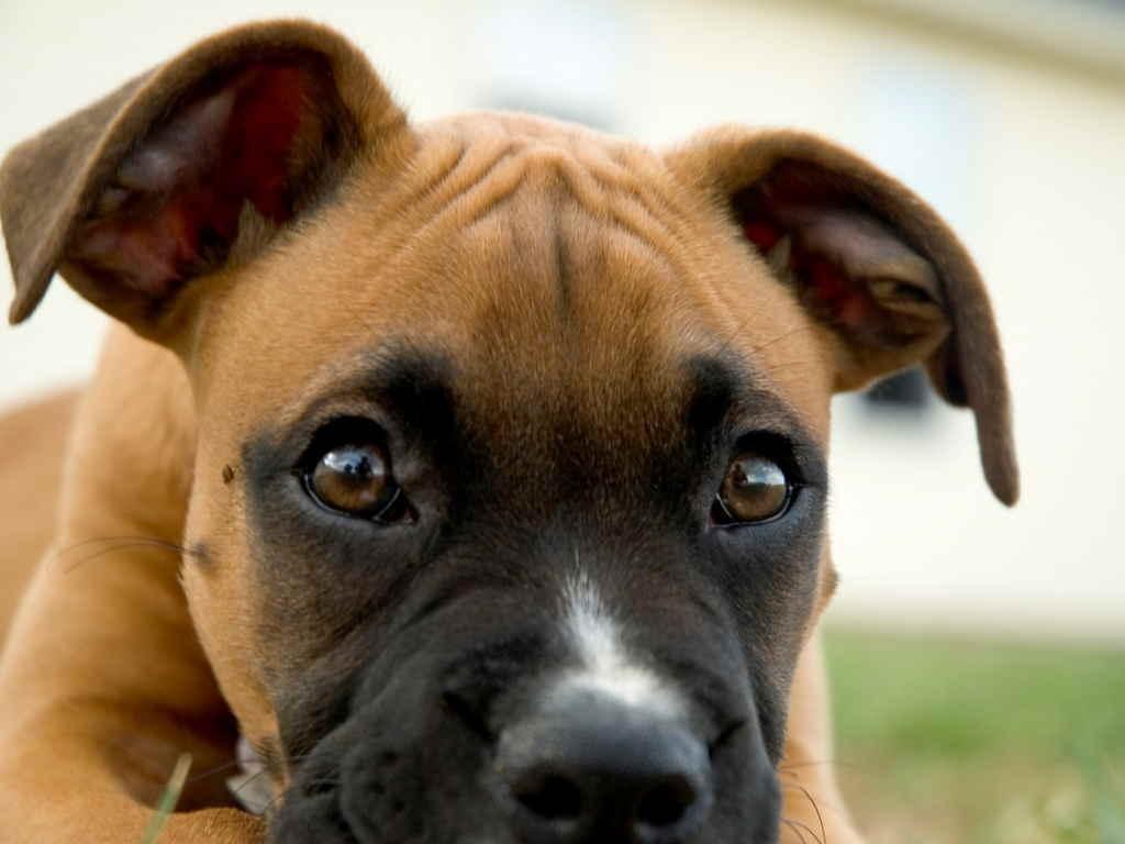 Собака смотрит