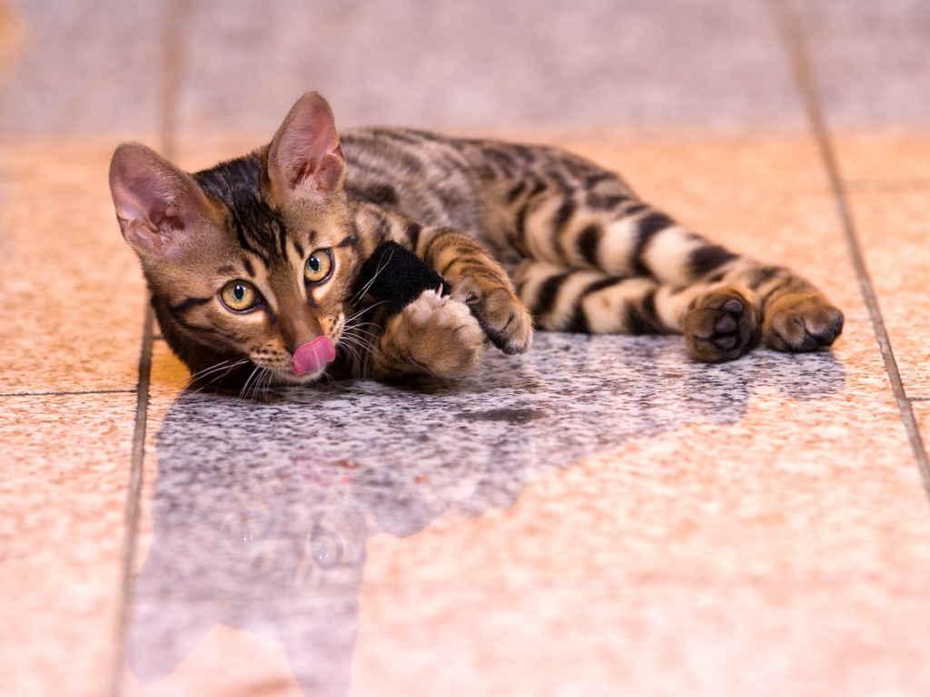 Как собрать у кота мочу для анализа