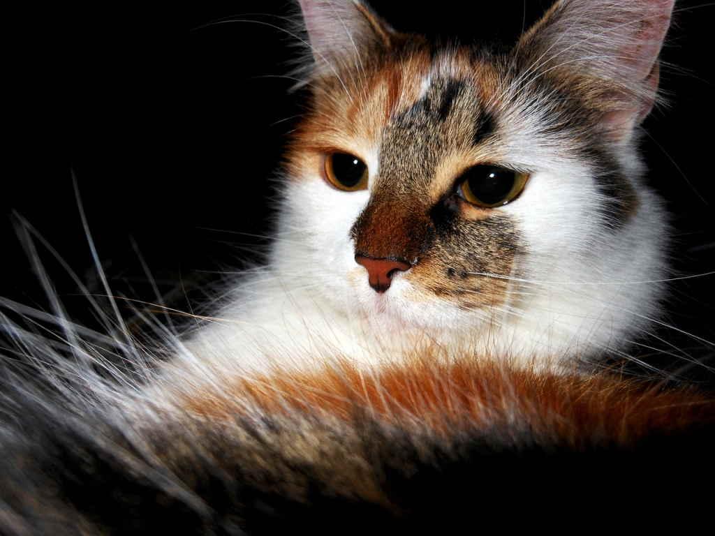 Когда начинается и сколько длится течка у кошек?