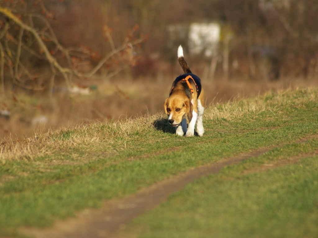 Собака ищет