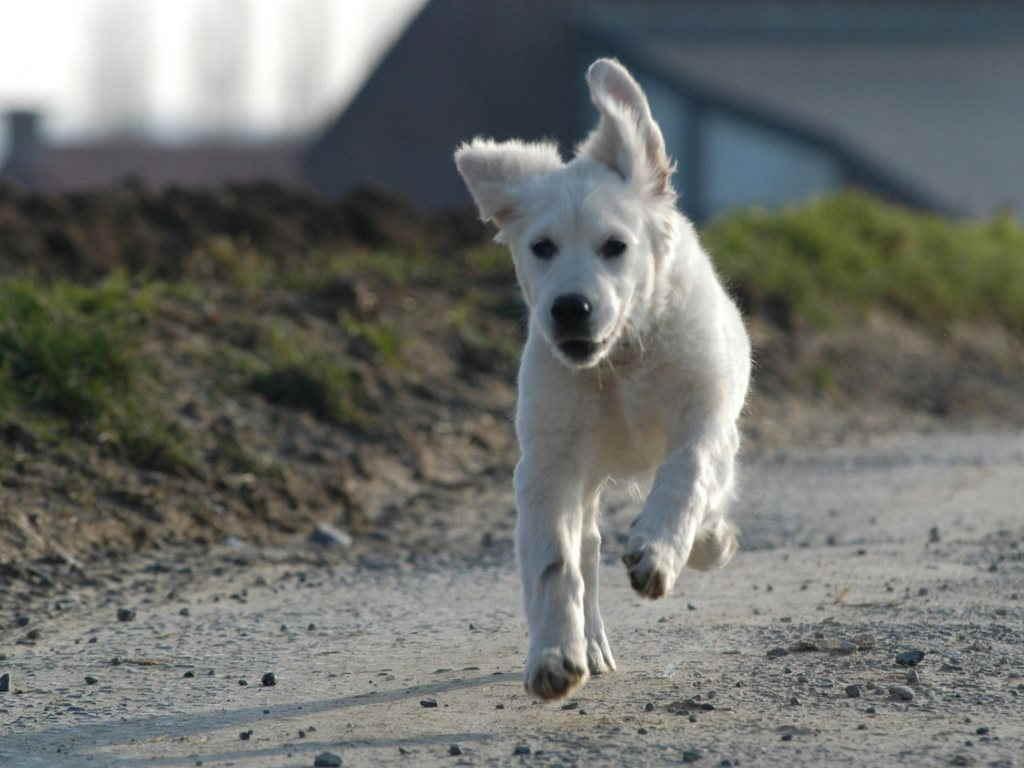 Щенок бежит