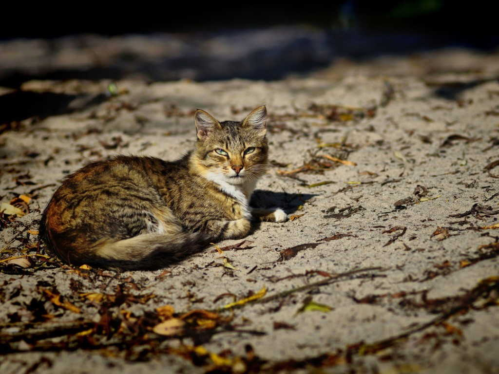 Кошка лежит