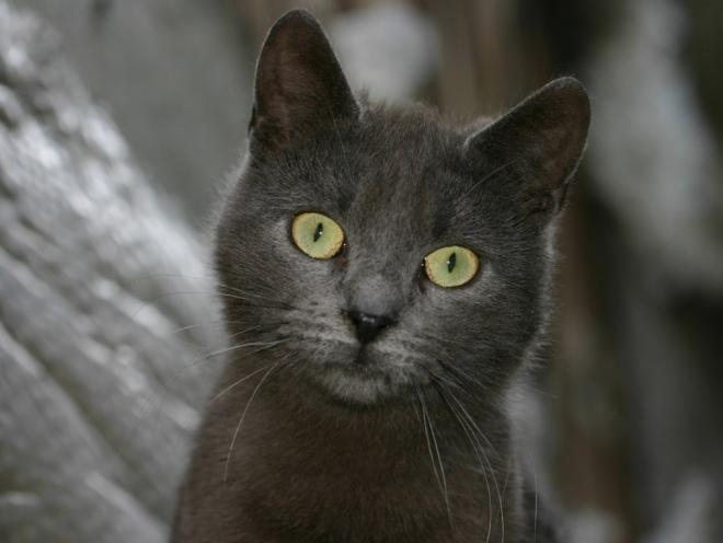 Серый кот смотрит