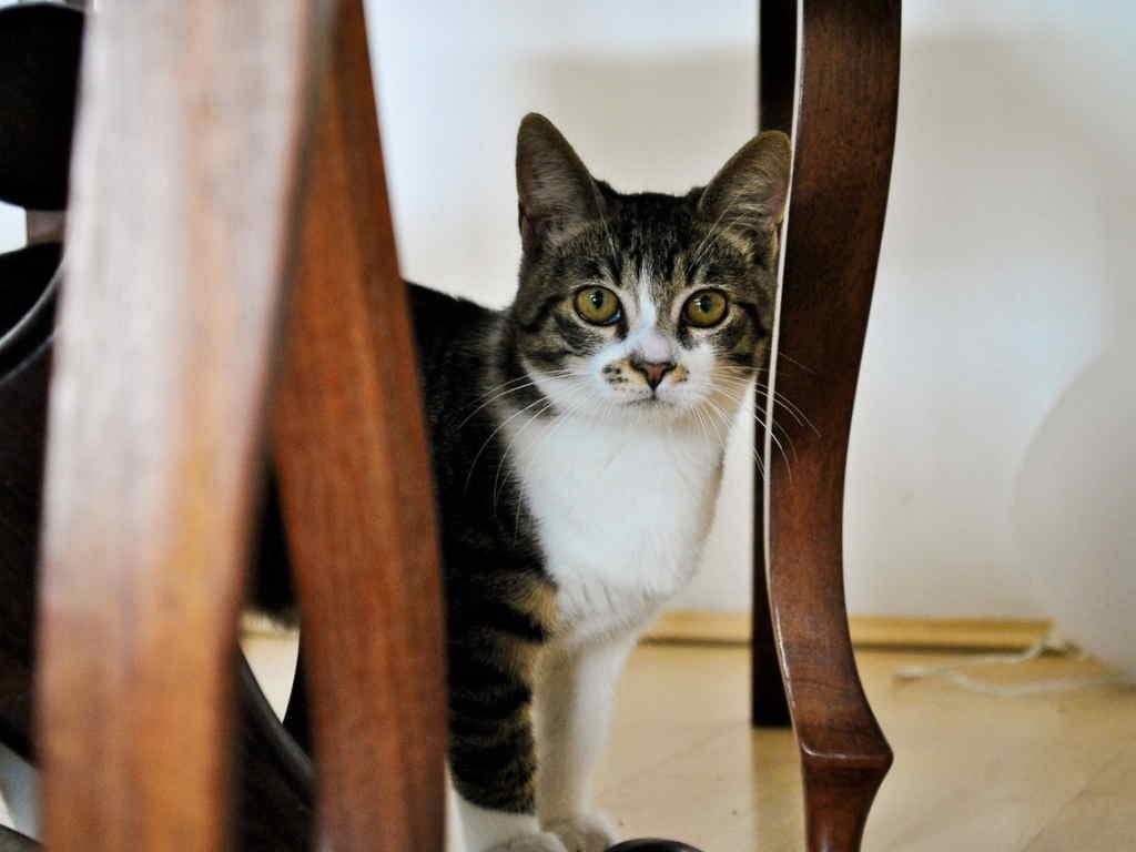 Кошка под стулом