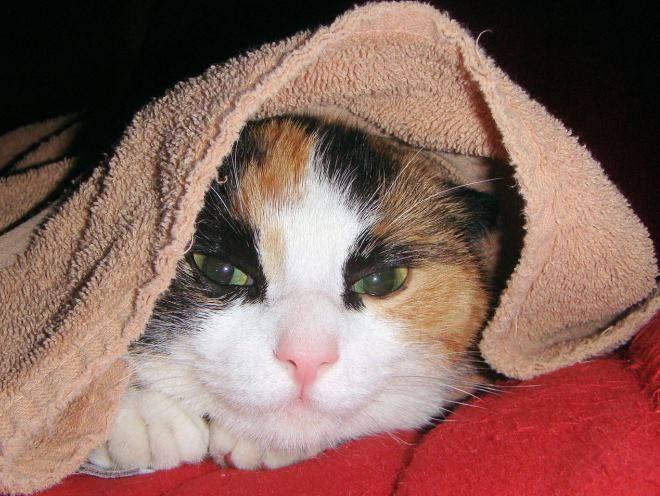 Кошка согревается под полотенцем