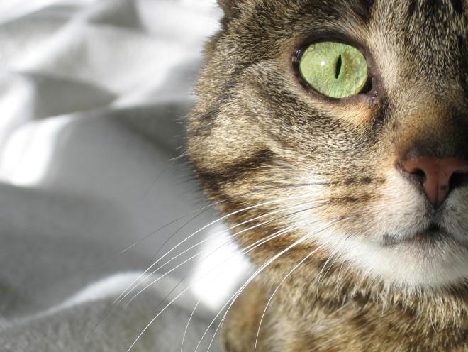 Взгляд кота вблизи