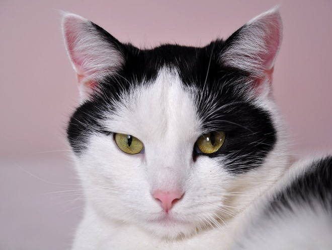 Черно-белый кот внимательно смотрит