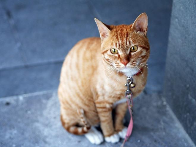 Рыжий кот с поводком