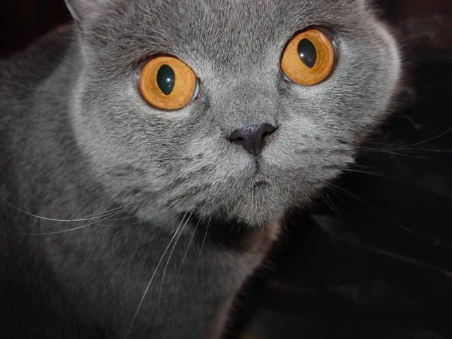 Британский кот удивленно смотрит