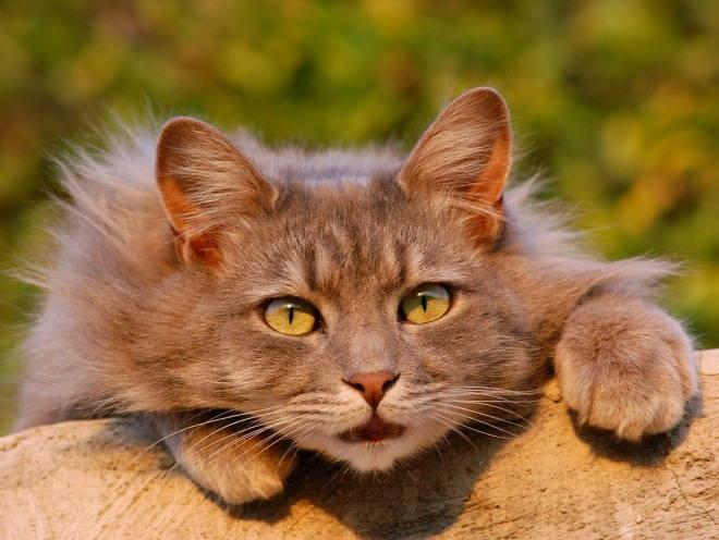 Кот перелезает через препятствие