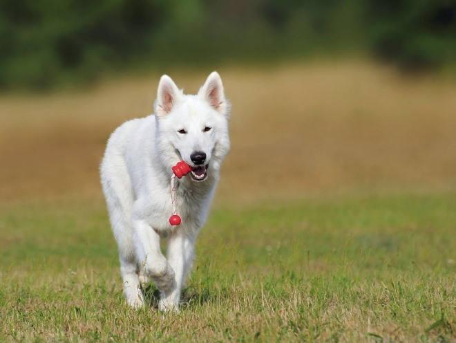Собака гуляет с игрушкой