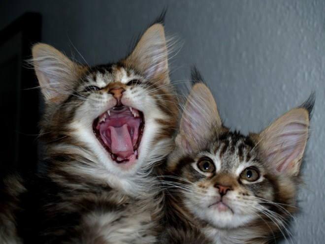 Котята мейн-кун внимательно наблюдают