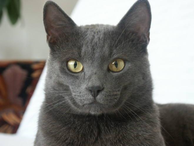 Британский кот с довольным лицом
