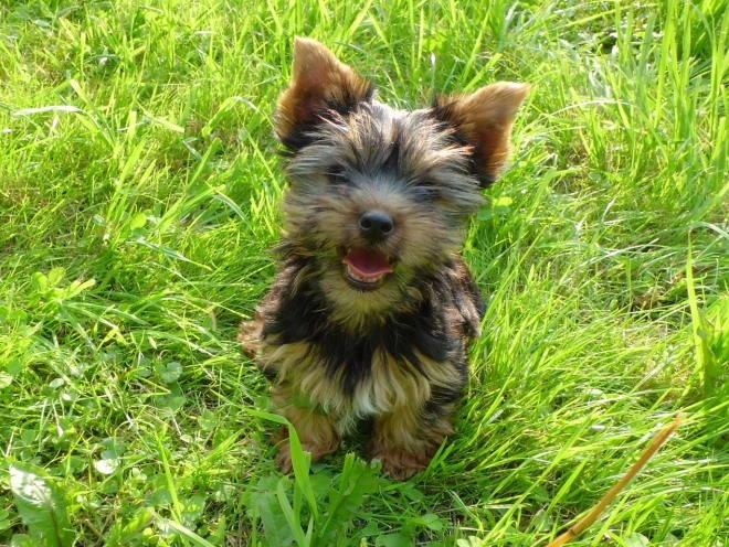 Йоркширский терьер сидит в траве