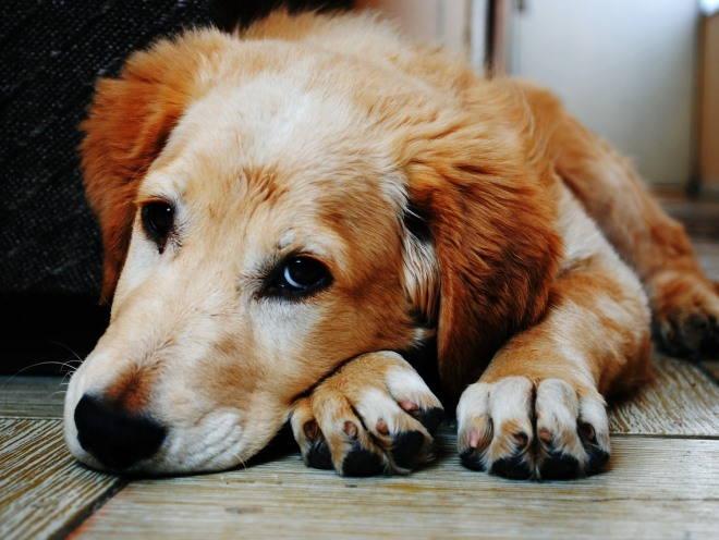 Собака лежит и грустит