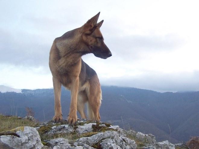 Овчарка забралась на вершину горы