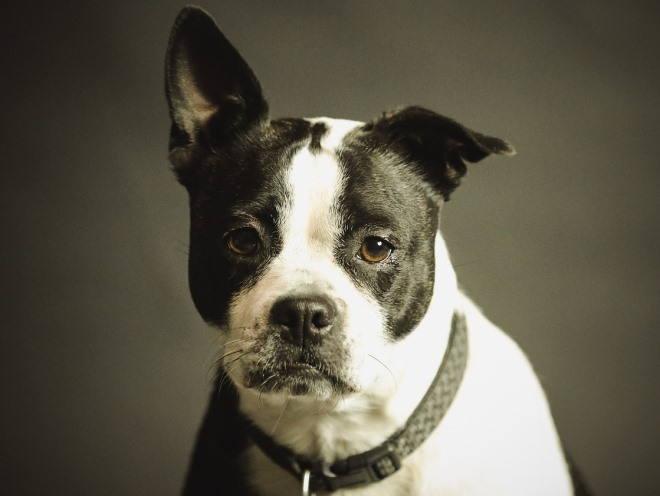 Собака подняла одно ухо