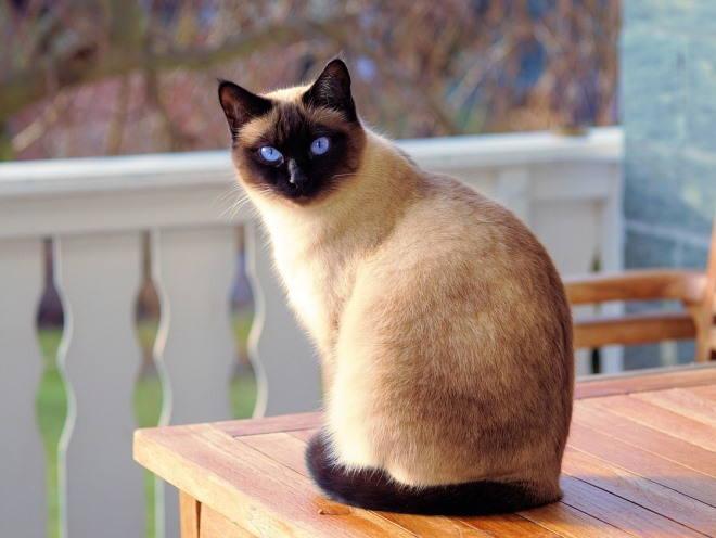 Сиамский кот сидит на столе