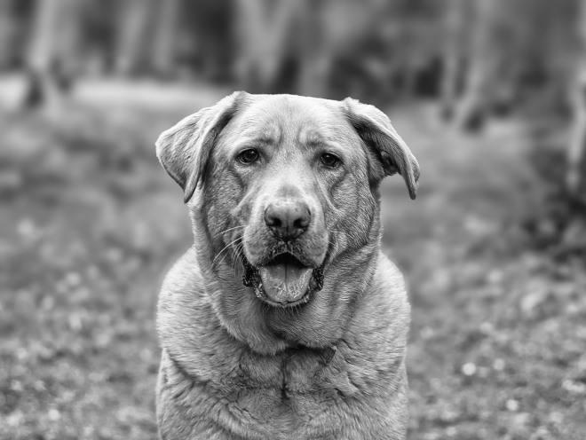 Старая собака сидит и смотрит