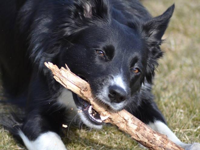 Собака грызет палку