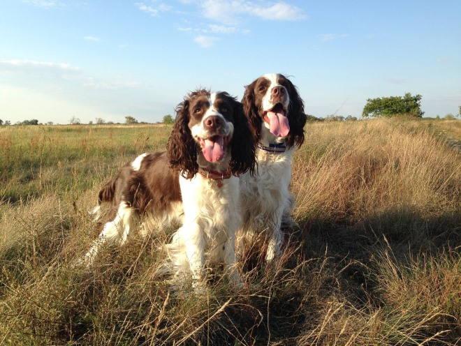 Две собаки гуляют в открытом поле