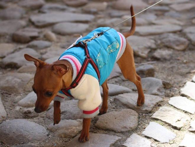 Собака гуляет на улице в одежде