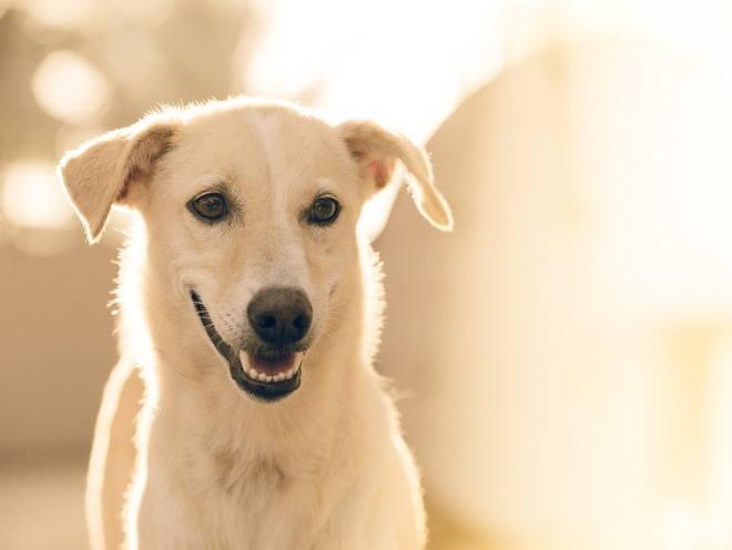 Собака с опущенными ушами