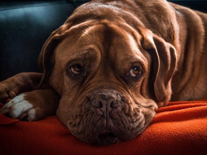 Собака лежит с плохим видом