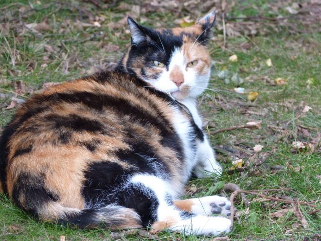 Беременная кошка отдыхает