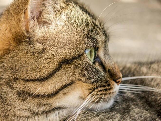 Глаз кошки сбоку