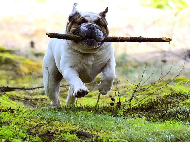 Собака бегает за палкой